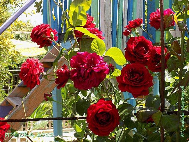Приветствую всех гостей моей странички!!! Не зря говорят, что роза королева цветов и царица ароматов! У нас на даче море цветов, а особенно мамочка любит розы, кусты роз рассажены по всей даче и они такие разнообразные и безумно красивые. В эти выходные мы были на даче, а там такие чудесные розы, что мне очень захотелось с вами поделиться. Дальше будет много фото. Приятного просмотра!!! фото 7