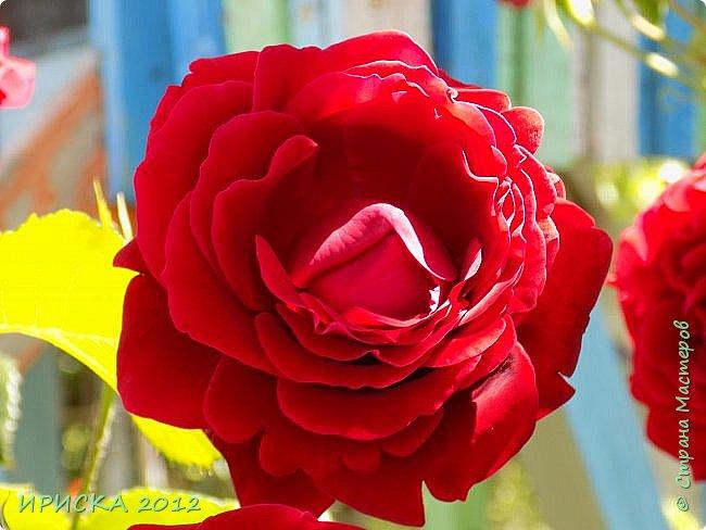 Приветствую всех гостей моей странички!!! Не зря говорят, что роза королева цветов и царица ароматов! У нас на даче море цветов, а особенно мамочка любит розы, кусты роз рассажены по всей даче и они такие разнообразные и безумно красивые. В эти выходные мы были на даче, а там такие чудесные розы, что мне очень захотелось с вами поделиться. Дальше будет много фото. Приятного просмотра!!! фото 8