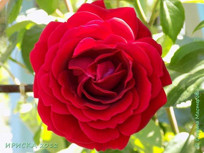 Приветствую всех гостей моей странички!!! Не зря говорят, что роза королева цветов и царица ароматов! У нас на даче море цветов, а особенно мамочка любит розы, кусты роз рассажены по всей даче и они такие разнообразные и безумно красивые. В эти выходные мы были на даче, а там такие чудесные розы, что мне очень захотелось с вами поделиться. Дальше будет много фото. Приятного просмотра!!! фото 9