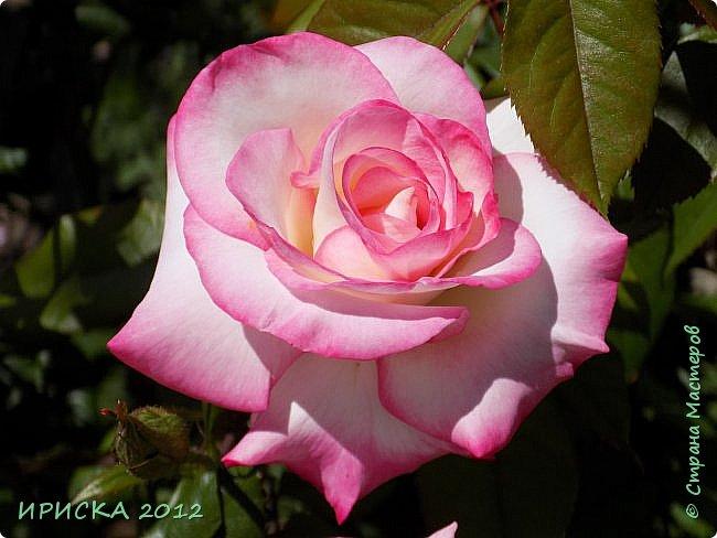 Приветствую всех гостей моей странички!!! Не зря говорят, что роза королева цветов и царица ароматов! У нас на даче море цветов, а особенно мамочка любит розы, кусты роз рассажены по всей даче и они такие разнообразные и безумно красивые. В эти выходные мы были на даче, а там такие чудесные розы, что мне очень захотелось с вами поделиться. Дальше будет много фото. Приятного просмотра!!! фото 12