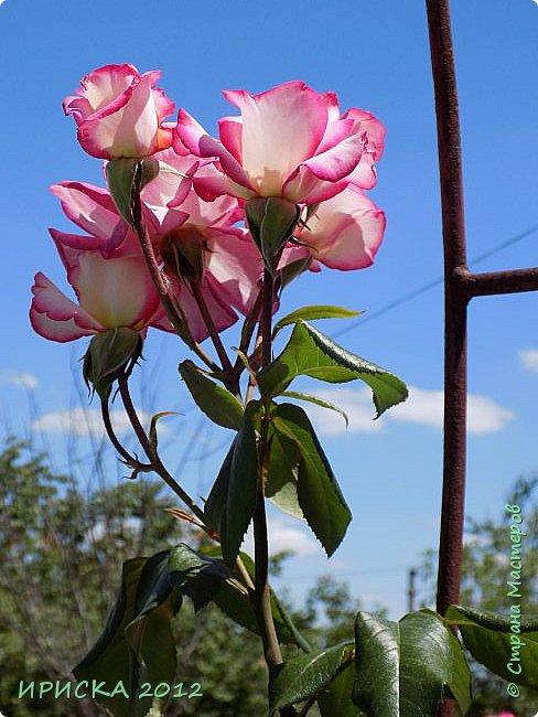 Приветствую всех гостей моей странички!!! Не зря говорят, что роза королева цветов и царица ароматов! У нас на даче море цветов, а особенно мамочка любит розы, кусты роз рассажены по всей даче и они такие разнообразные и безумно красивые. В эти выходные мы были на даче, а там такие чудесные розы, что мне очень захотелось с вами поделиться. Дальше будет много фото. Приятного просмотра!!! фото 14