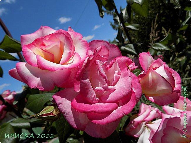 Приветствую всех гостей моей странички!!! Не зря говорят, что роза королева цветов и царица ароматов! У нас на даче море цветов, а особенно мамочка любит розы, кусты роз рассажены по всей даче и они такие разнообразные и безумно красивые. В эти выходные мы были на даче, а там такие чудесные розы, что мне очень захотелось с вами поделиться. Дальше будет много фото. Приятного просмотра!!! фото 15