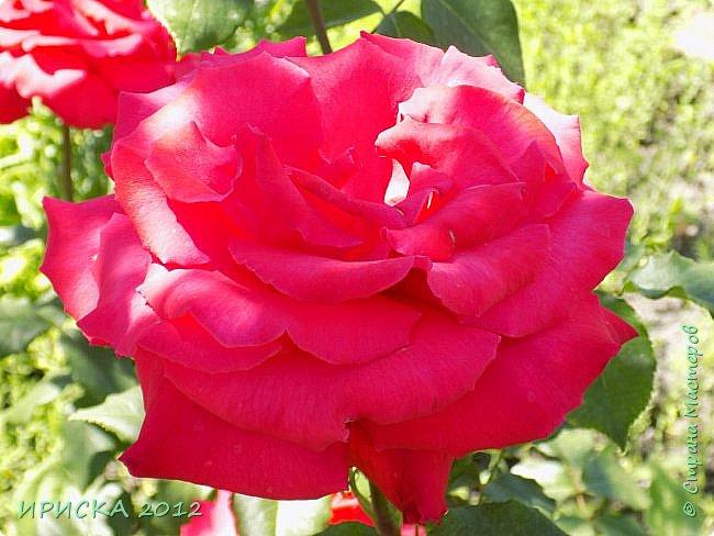 Приветствую всех гостей моей странички!!! Не зря говорят, что роза королева цветов и царица ароматов! У нас на даче море цветов, а особенно мамочка любит розы, кусты роз рассажены по всей даче и они такие разнообразные и безумно красивые. В эти выходные мы были на даче, а там такие чудесные розы, что мне очень захотелось с вами поделиться. Дальше будет много фото. Приятного просмотра!!! фото 16