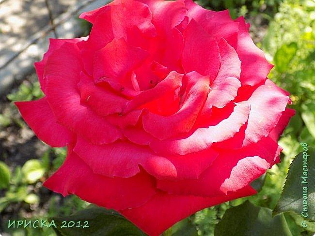 Приветствую всех гостей моей странички!!! Не зря говорят, что роза королева цветов и царица ароматов! У нас на даче море цветов, а особенно мамочка любит розы, кусты роз рассажены по всей даче и они такие разнообразные и безумно красивые. В эти выходные мы были на даче, а там такие чудесные розы, что мне очень захотелось с вами поделиться. Дальше будет много фото. Приятного просмотра!!! фото 19