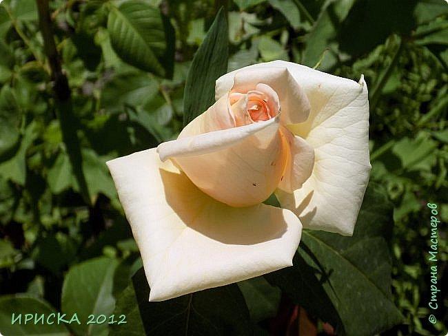 Приветствую всех гостей моей странички!!! Не зря говорят, что роза королева цветов и царица ароматов! У нас на даче море цветов, а особенно мамочка любит розы, кусты роз рассажены по всей даче и они такие разнообразные и безумно красивые. В эти выходные мы были на даче, а там такие чудесные розы, что мне очень захотелось с вами поделиться. Дальше будет много фото. Приятного просмотра!!! фото 20