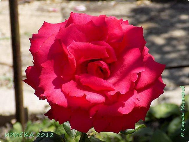 Приветствую всех гостей моей странички!!! Не зря говорят, что роза королева цветов и царица ароматов! У нас на даче море цветов, а особенно мамочка любит розы, кусты роз рассажены по всей даче и они такие разнообразные и безумно красивые. В эти выходные мы были на даче, а там такие чудесные розы, что мне очень захотелось с вами поделиться. Дальше будет много фото. Приятного просмотра!!! фото 21