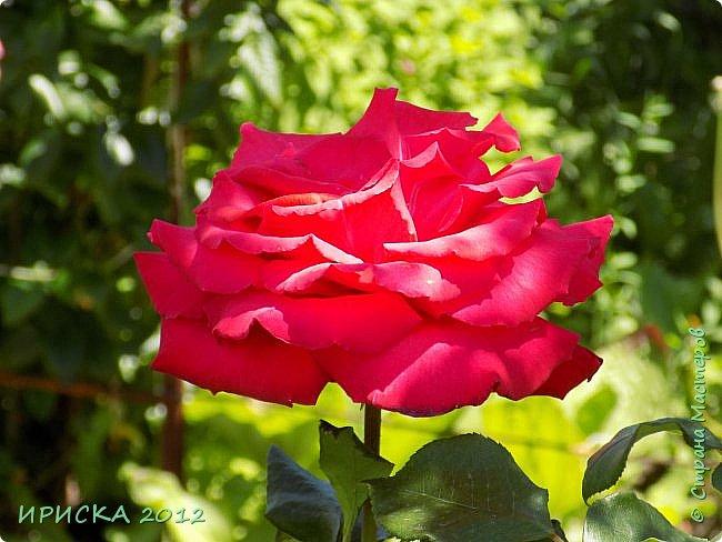 Приветствую всех гостей моей странички!!! Не зря говорят, что роза королева цветов и царица ароматов! У нас на даче море цветов, а особенно мамочка любит розы, кусты роз рассажены по всей даче и они такие разнообразные и безумно красивые. В эти выходные мы были на даче, а там такие чудесные розы, что мне очень захотелось с вами поделиться. Дальше будет много фото. Приятного просмотра!!! фото 22