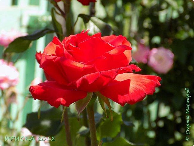Приветствую всех гостей моей странички!!! Не зря говорят, что роза королева цветов и царица ароматов! У нас на даче море цветов, а особенно мамочка любит розы, кусты роз рассажены по всей даче и они такие разнообразные и безумно красивые. В эти выходные мы были на даче, а там такие чудесные розы, что мне очень захотелось с вами поделиться. Дальше будет много фото. Приятного просмотра!!! фото 23