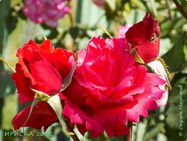 Приветствую всех гостей моей странички!!! Не зря говорят, что роза королева цветов и царица ароматов! У нас на даче море цветов, а особенно мамочка любит розы, кусты роз рассажены по всей даче и они такие разнообразные и безумно красивые. В эти выходные мы были на даче, а там такие чудесные розы, что мне очень захотелось с вами поделиться. Дальше будет много фото. Приятного просмотра!!! фото 24