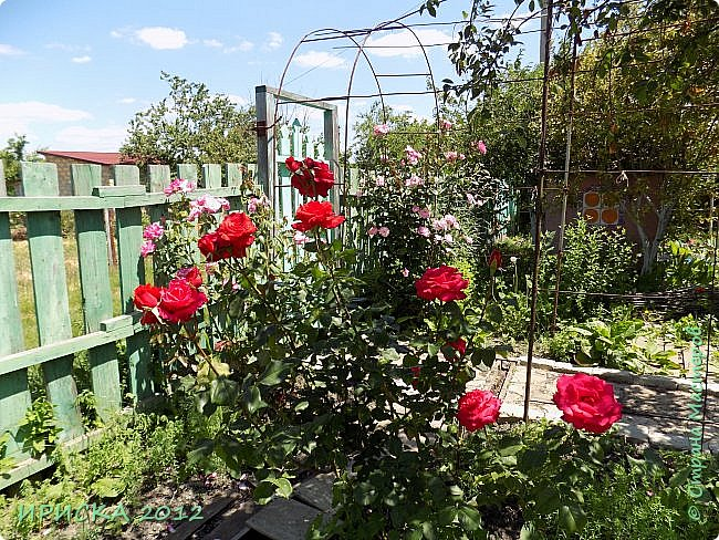 Приветствую всех гостей моей странички!!! Не зря говорят, что роза королева цветов и царица ароматов! У нас на даче море цветов, а особенно мамочка любит розы, кусты роз рассажены по всей даче и они такие разнообразные и безумно красивые. В эти выходные мы были на даче, а там такие чудесные розы, что мне очень захотелось с вами поделиться. Дальше будет много фото. Приятного просмотра!!! фото 25