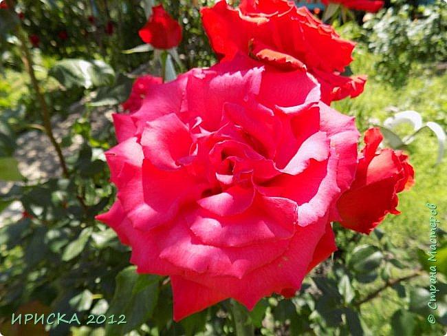 Приветствую всех гостей моей странички!!! Не зря говорят, что роза королева цветов и царица ароматов! У нас на даче море цветов, а особенно мамочка любит розы, кусты роз рассажены по всей даче и они такие разнообразные и безумно красивые. В эти выходные мы были на даче, а там такие чудесные розы, что мне очень захотелось с вами поделиться. Дальше будет много фото. Приятного просмотра!!! фото 26