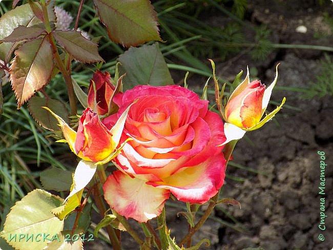 Приветствую всех гостей моей странички!!! Не зря говорят, что роза королева цветов и царица ароматов! У нас на даче море цветов, а особенно мамочка любит розы, кусты роз рассажены по всей даче и они такие разнообразные и безумно красивые. В эти выходные мы были на даче, а там такие чудесные розы, что мне очень захотелось с вами поделиться. Дальше будет много фото. Приятного просмотра!!! фото 27