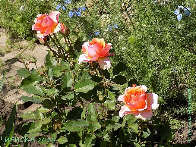 Приветствую всех гостей моей странички!!! Не зря говорят, что роза королева цветов и царица ароматов! У нас на даче море цветов, а особенно мамочка любит розы, кусты роз рассажены по всей даче и они такие разнообразные и безумно красивые. В эти выходные мы были на даче, а там такие чудесные розы, что мне очень захотелось с вами поделиться. Дальше будет много фото. Приятного просмотра!!! фото 28