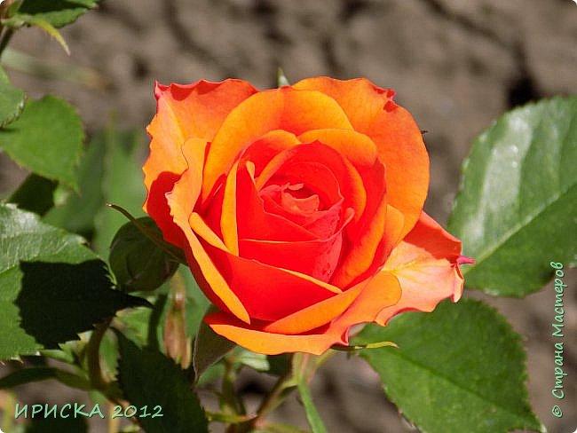 Приветствую всех гостей моей странички!!! Не зря говорят, что роза королева цветов и царица ароматов! У нас на даче море цветов, а особенно мамочка любит розы, кусты роз рассажены по всей даче и они такие разнообразные и безумно красивые. В эти выходные мы были на даче, а там такие чудесные розы, что мне очень захотелось с вами поделиться. Дальше будет много фото. Приятного просмотра!!! фото 29