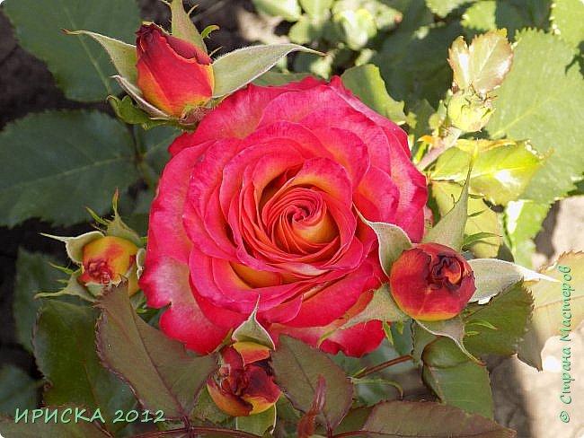 Приветствую всех гостей моей странички!!! Не зря говорят, что роза королева цветов и царица ароматов! У нас на даче море цветов, а особенно мамочка любит розы, кусты роз рассажены по всей даче и они такие разнообразные и безумно красивые. В эти выходные мы были на даче, а там такие чудесные розы, что мне очень захотелось с вами поделиться. Дальше будет много фото. Приятного просмотра!!! фото 32
