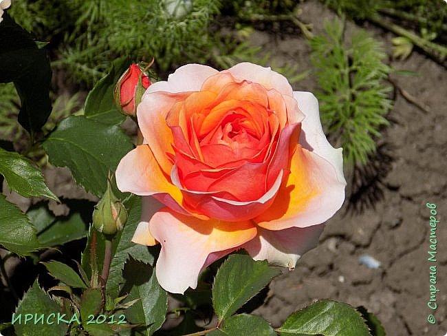 Приветствую всех гостей моей странички!!! Не зря говорят, что роза королева цветов и царица ароматов! У нас на даче море цветов, а особенно мамочка любит розы, кусты роз рассажены по всей даче и они такие разнообразные и безумно красивые. В эти выходные мы были на даче, а там такие чудесные розы, что мне очень захотелось с вами поделиться. Дальше будет много фото. Приятного просмотра!!! фото 33