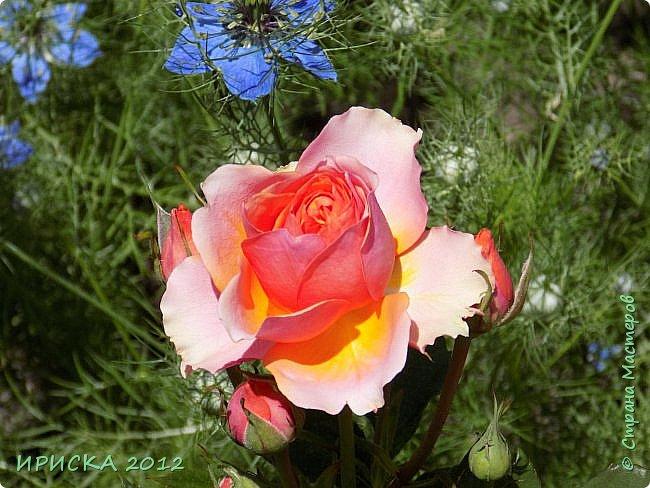 Приветствую всех гостей моей странички!!! Не зря говорят, что роза королева цветов и царица ароматов! У нас на даче море цветов, а особенно мамочка любит розы, кусты роз рассажены по всей даче и они такие разнообразные и безумно красивые. В эти выходные мы были на даче, а там такие чудесные розы, что мне очень захотелось с вами поделиться. Дальше будет много фото. Приятного просмотра!!! фото 34