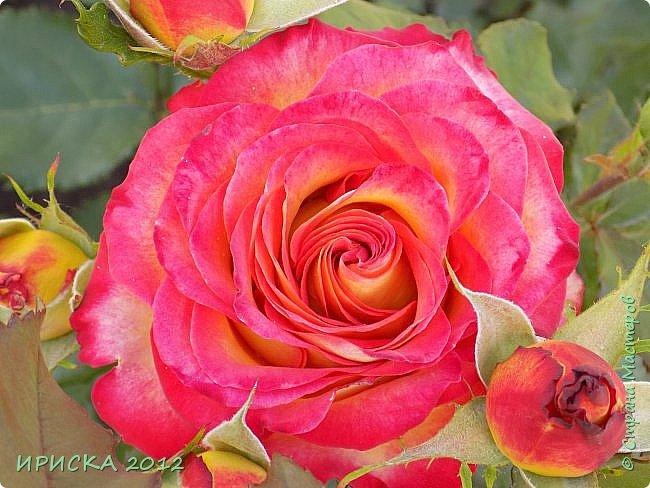 Приветствую всех гостей моей странички!!! Не зря говорят, что роза королева цветов и царица ароматов! У нас на даче море цветов, а особенно мамочка любит розы, кусты роз рассажены по всей даче и они такие разнообразные и безумно красивые. В эти выходные мы были на даче, а там такие чудесные розы, что мне очень захотелось с вами поделиться. Дальше будет много фото. Приятного просмотра!!! фото 31