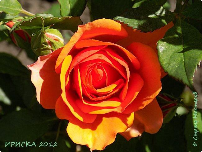 Приветствую всех гостей моей странички!!! Не зря говорят, что роза королева цветов и царица ароматов! У нас на даче море цветов, а особенно мамочка любит розы, кусты роз рассажены по всей даче и они такие разнообразные и безумно красивые. В эти выходные мы были на даче, а там такие чудесные розы, что мне очень захотелось с вами поделиться. Дальше будет много фото. Приятного просмотра!!! фото 35