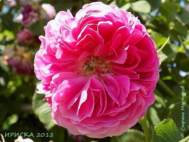 Приветствую всех гостей моей странички!!! Не зря говорят, что роза королева цветов и царица ароматов! У нас на даче море цветов, а особенно мамочка любит розы, кусты роз рассажены по всей даче и они такие разнообразные и безумно красивые. В эти выходные мы были на даче, а там такие чудесные розы, что мне очень захотелось с вами поделиться. Дальше будет много фото. Приятного просмотра!!! фото 36