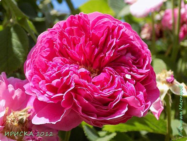 Приветствую всех гостей моей странички!!! Не зря говорят, что роза королева цветов и царица ароматов! У нас на даче море цветов, а особенно мамочка любит розы, кусты роз рассажены по всей даче и они такие разнообразные и безумно красивые. В эти выходные мы были на даче, а там такие чудесные розы, что мне очень захотелось с вами поделиться. Дальше будет много фото. Приятного просмотра!!! фото 37