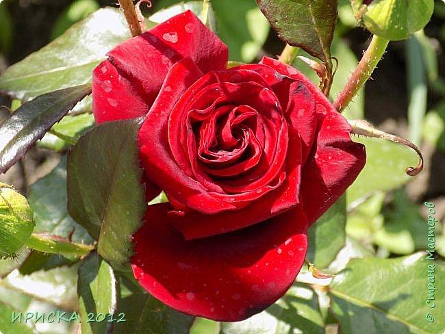 Приветствую всех гостей моей странички!!! Не зря говорят, что роза королева цветов и царица ароматов! У нас на даче море цветов, а особенно мамочка любит розы, кусты роз рассажены по всей даче и они такие разнообразные и безумно красивые. В эти выходные мы были на даче, а там такие чудесные розы, что мне очень захотелось с вами поделиться. Дальше будет много фото. Приятного просмотра!!! фото 38