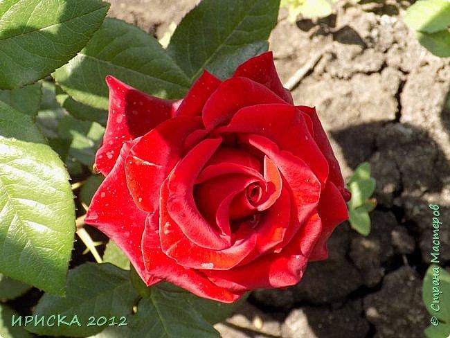 Приветствую всех гостей моей странички!!! Не зря говорят, что роза королева цветов и царица ароматов! У нас на даче море цветов, а особенно мамочка любит розы, кусты роз рассажены по всей даче и они такие разнообразные и безумно красивые. В эти выходные мы были на даче, а там такие чудесные розы, что мне очень захотелось с вами поделиться. Дальше будет много фото. Приятного просмотра!!! фото 39