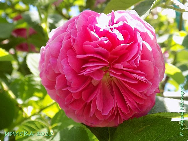 Приветствую всех гостей моей странички!!! Не зря говорят, что роза королева цветов и царица ароматов! У нас на даче море цветов, а особенно мамочка любит розы, кусты роз рассажены по всей даче и они такие разнообразные и безумно красивые. В эти выходные мы были на даче, а там такие чудесные розы, что мне очень захотелось с вами поделиться. Дальше будет много фото. Приятного просмотра!!! фото 40