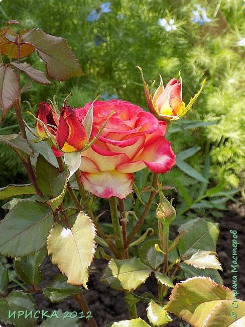 Приветствую всех гостей моей странички!!! Не зря говорят, что роза королева цветов и царица ароматов! У нас на даче море цветов, а особенно мамочка любит розы, кусты роз рассажены по всей даче и они такие разнообразные и безумно красивые. В эти выходные мы были на даче, а там такие чудесные розы, что мне очень захотелось с вами поделиться. Дальше будет много фото. Приятного просмотра!!! фото 41