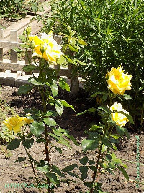 Приветствую всех гостей моей странички!!! Не зря говорят, что роза королева цветов и царица ароматов! У нас на даче море цветов, а особенно мамочка любит розы, кусты роз рассажены по всей даче и они такие разнообразные и безумно красивые. В эти выходные мы были на даче, а там такие чудесные розы, что мне очень захотелось с вами поделиться. Дальше будет много фото. Приятного просмотра!!! фото 42