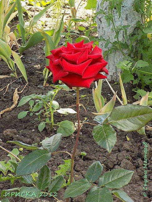 Приветствую всех гостей моей странички!!! Не зря говорят, что роза королева цветов и царица ароматов! У нас на даче море цветов, а особенно мамочка любит розы, кусты роз рассажены по всей даче и они такие разнообразные и безумно красивые. В эти выходные мы были на даче, а там такие чудесные розы, что мне очень захотелось с вами поделиться. Дальше будет много фото. Приятного просмотра!!! фото 43
