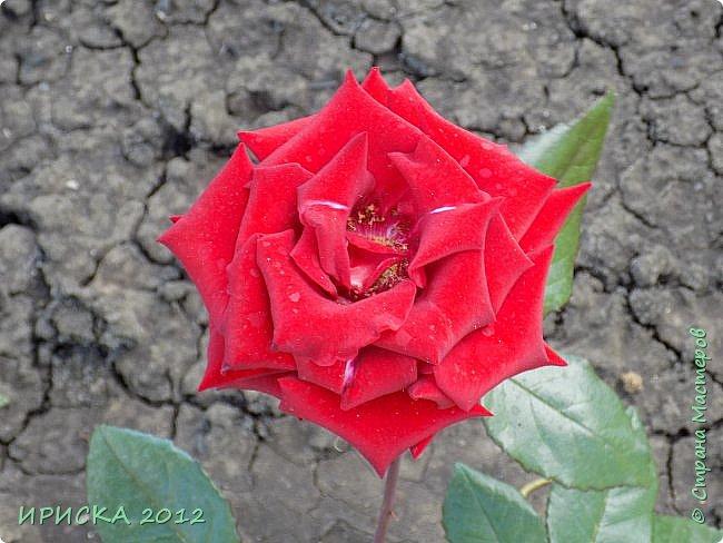 Приветствую всех гостей моей странички!!! Не зря говорят, что роза королева цветов и царица ароматов! У нас на даче море цветов, а особенно мамочка любит розы, кусты роз рассажены по всей даче и они такие разнообразные и безумно красивые. В эти выходные мы были на даче, а там такие чудесные розы, что мне очень захотелось с вами поделиться. Дальше будет много фото. Приятного просмотра!!! фото 44