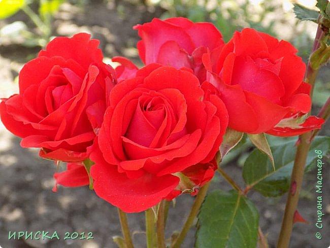 Приветствую всех гостей моей странички!!! Не зря говорят, что роза королева цветов и царица ароматов! У нас на даче море цветов, а особенно мамочка любит розы, кусты роз рассажены по всей даче и они такие разнообразные и безумно красивые. В эти выходные мы были на даче, а там такие чудесные розы, что мне очень захотелось с вами поделиться. Дальше будет много фото. Приятного просмотра!!! фото 45