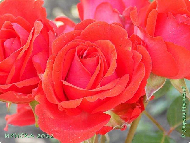 Приветствую всех гостей моей странички!!! Не зря говорят, что роза королева цветов и царица ароматов! У нас на даче море цветов, а особенно мамочка любит розы, кусты роз рассажены по всей даче и они такие разнообразные и безумно красивые. В эти выходные мы были на даче, а там такие чудесные розы, что мне очень захотелось с вами поделиться. Дальше будет много фото. Приятного просмотра!!! фото 46