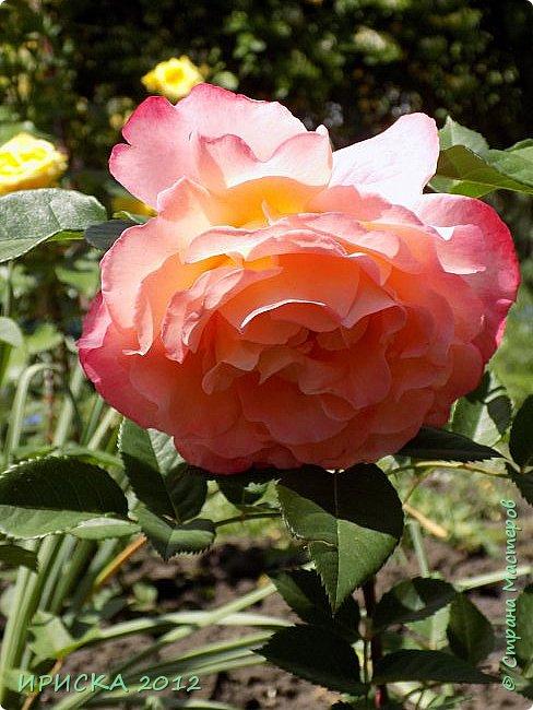 Приветствую всех гостей моей странички!!! Не зря говорят, что роза королева цветов и царица ароматов! У нас на даче море цветов, а особенно мамочка любит розы, кусты роз рассажены по всей даче и они такие разнообразные и безумно красивые. В эти выходные мы были на даче, а там такие чудесные розы, что мне очень захотелось с вами поделиться. Дальше будет много фото. Приятного просмотра!!! фото 47