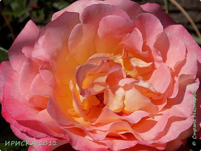 Приветствую всех гостей моей странички!!! Не зря говорят, что роза королева цветов и царица ароматов! У нас на даче море цветов, а особенно мамочка любит розы, кусты роз рассажены по всей даче и они такие разнообразные и безумно красивые. В эти выходные мы были на даче, а там такие чудесные розы, что мне очень захотелось с вами поделиться. Дальше будет много фото. Приятного просмотра!!! фото 48