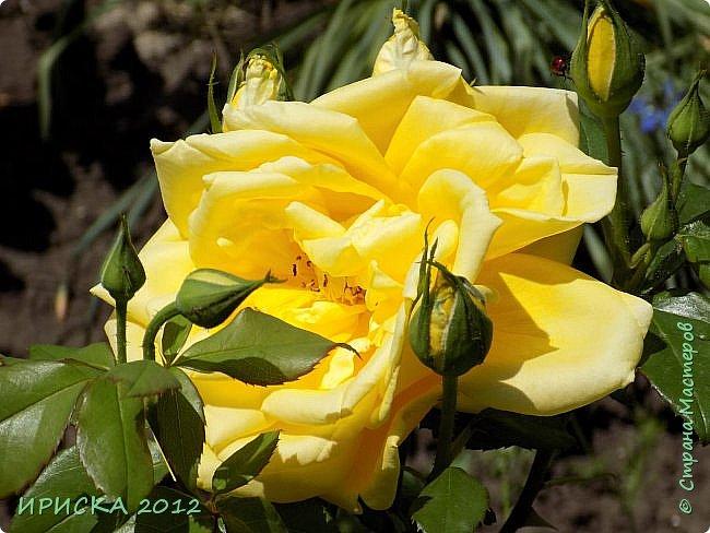 Приветствую всех гостей моей странички!!! Не зря говорят, что роза королева цветов и царица ароматов! У нас на даче море цветов, а особенно мамочка любит розы, кусты роз рассажены по всей даче и они такие разнообразные и безумно красивые. В эти выходные мы были на даче, а там такие чудесные розы, что мне очень захотелось с вами поделиться. Дальше будет много фото. Приятного просмотра!!! фото 49