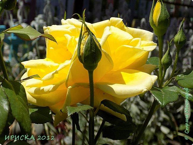 Приветствую всех гостей моей странички!!! Не зря говорят, что роза королева цветов и царица ароматов! У нас на даче море цветов, а особенно мамочка любит розы, кусты роз рассажены по всей даче и они такие разнообразные и безумно красивые. В эти выходные мы были на даче, а там такие чудесные розы, что мне очень захотелось с вами поделиться. Дальше будет много фото. Приятного просмотра!!! фото 50
