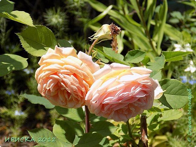 Приветствую всех гостей моей странички!!! Не зря говорят, что роза королева цветов и царица ароматов! У нас на даче море цветов, а особенно мамочка любит розы, кусты роз рассажены по всей даче и они такие разнообразные и безумно красивые. В эти выходные мы были на даче, а там такие чудесные розы, что мне очень захотелось с вами поделиться. Дальше будет много фото. Приятного просмотра!!! фото 51