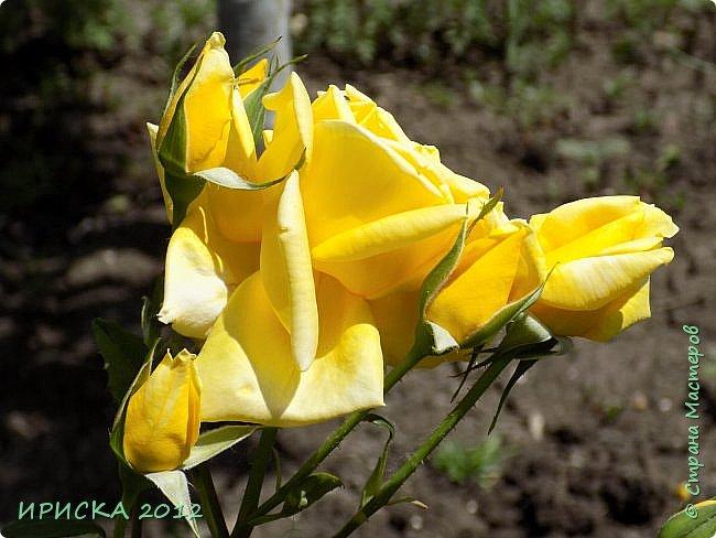 Приветствую всех гостей моей странички!!! Не зря говорят, что роза королева цветов и царица ароматов! У нас на даче море цветов, а особенно мамочка любит розы, кусты роз рассажены по всей даче и они такие разнообразные и безумно красивые. В эти выходные мы были на даче, а там такие чудесные розы, что мне очень захотелось с вами поделиться. Дальше будет много фото. Приятного просмотра!!! фото 52