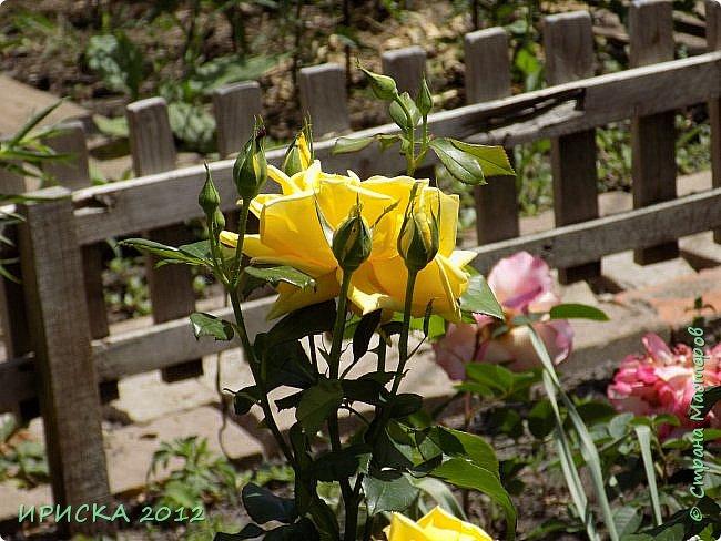 Приветствую всех гостей моей странички!!! Не зря говорят, что роза королева цветов и царица ароматов! У нас на даче море цветов, а особенно мамочка любит розы, кусты роз рассажены по всей даче и они такие разнообразные и безумно красивые. В эти выходные мы были на даче, а там такие чудесные розы, что мне очень захотелось с вами поделиться. Дальше будет много фото. Приятного просмотра!!! фото 53