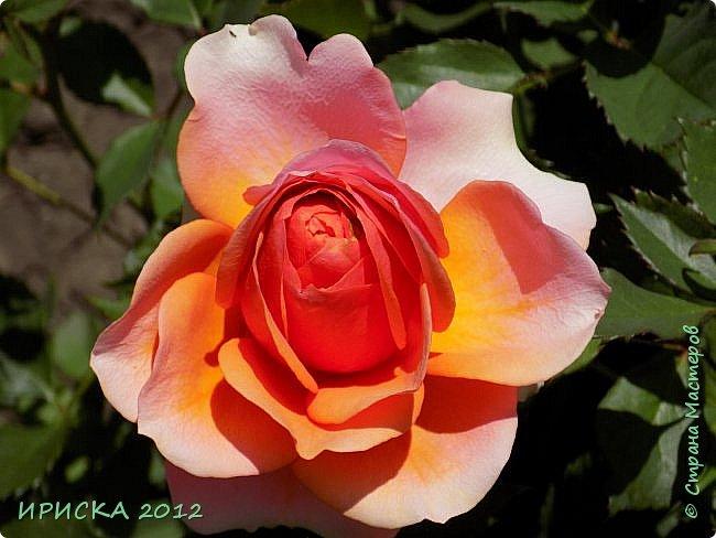 Приветствую всех гостей моей странички!!! Не зря говорят, что роза королева цветов и царица ароматов! У нас на даче море цветов, а особенно мамочка любит розы, кусты роз рассажены по всей даче и они такие разнообразные и безумно красивые. В эти выходные мы были на даче, а там такие чудесные розы, что мне очень захотелось с вами поделиться. Дальше будет много фото. Приятного просмотра!!! фото 54