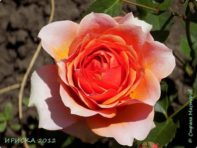 Приветствую всех гостей моей странички!!! Не зря говорят, что роза королева цветов и царица ароматов! У нас на даче море цветов, а особенно мамочка любит розы, кусты роз рассажены по всей даче и они такие разнообразные и безумно красивые. В эти выходные мы были на даче, а там такие чудесные розы, что мне очень захотелось с вами поделиться. Дальше будет много фото. Приятного просмотра!!! фото 55
