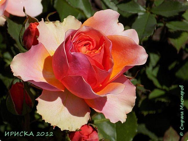 Приветствую всех гостей моей странички!!! Не зря говорят, что роза королева цветов и царица ароматов! У нас на даче море цветов, а особенно мамочка любит розы, кусты роз рассажены по всей даче и они такие разнообразные и безумно красивые. В эти выходные мы были на даче, а там такие чудесные розы, что мне очень захотелось с вами поделиться. Дальше будет много фото. Приятного просмотра!!! фото 56