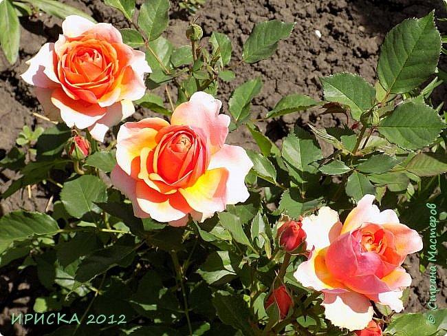 Приветствую всех гостей моей странички!!! Не зря говорят, что роза королева цветов и царица ароматов! У нас на даче море цветов, а особенно мамочка любит розы, кусты роз рассажены по всей даче и они такие разнообразные и безумно красивые. В эти выходные мы были на даче, а там такие чудесные розы, что мне очень захотелось с вами поделиться. Дальше будет много фото. Приятного просмотра!!! фото 57
