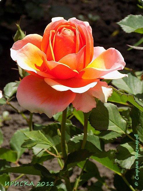 Приветствую всех гостей моей странички!!! Не зря говорят, что роза королева цветов и царица ароматов! У нас на даче море цветов, а особенно мамочка любит розы, кусты роз рассажены по всей даче и они такие разнообразные и безумно красивые. В эти выходные мы были на даче, а там такие чудесные розы, что мне очень захотелось с вами поделиться. Дальше будет много фото. Приятного просмотра!!! фото 59