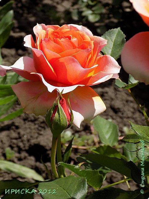 Приветствую всех гостей моей странички!!! Не зря говорят, что роза королева цветов и царица ароматов! У нас на даче море цветов, а особенно мамочка любит розы, кусты роз рассажены по всей даче и они такие разнообразные и безумно красивые. В эти выходные мы были на даче, а там такие чудесные розы, что мне очень захотелось с вами поделиться. Дальше будет много фото. Приятного просмотра!!! фото 60