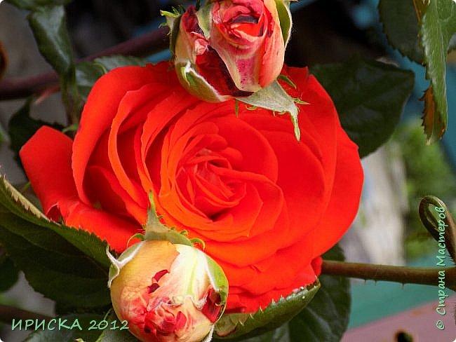 Приветствую всех гостей моей странички!!! Не зря говорят, что роза королева цветов и царица ароматов! У нас на даче море цветов, а особенно мамочка любит розы, кусты роз рассажены по всей даче и они такие разнообразные и безумно красивые. В эти выходные мы были на даче, а там такие чудесные розы, что мне очень захотелось с вами поделиться. Дальше будет много фото. Приятного просмотра!!! фото 62