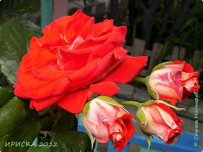 Приветствую всех гостей моей странички!!! Не зря говорят, что роза королева цветов и царица ароматов! У нас на даче море цветов, а особенно мамочка любит розы, кусты роз рассажены по всей даче и они такие разнообразные и безумно красивые. В эти выходные мы были на даче, а там такие чудесные розы, что мне очень захотелось с вами поделиться. Дальше будет много фото. Приятного просмотра!!! фото 1