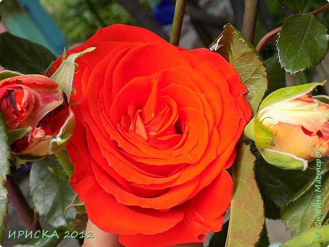Приветствую всех гостей моей странички!!! Не зря говорят, что роза королева цветов и царица ароматов! У нас на даче море цветов, а особенно мамочка любит розы, кусты роз рассажены по всей даче и они такие разнообразные и безумно красивые. В эти выходные мы были на даче, а там такие чудесные розы, что мне очень захотелось с вами поделиться. Дальше будет много фото. Приятного просмотра!!! фото 63